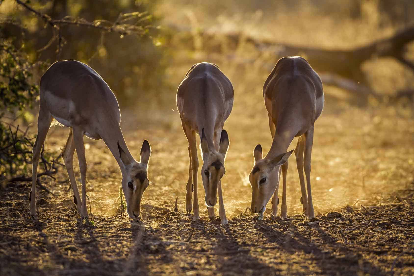 Common Impala In Kruger National Park, South Africa