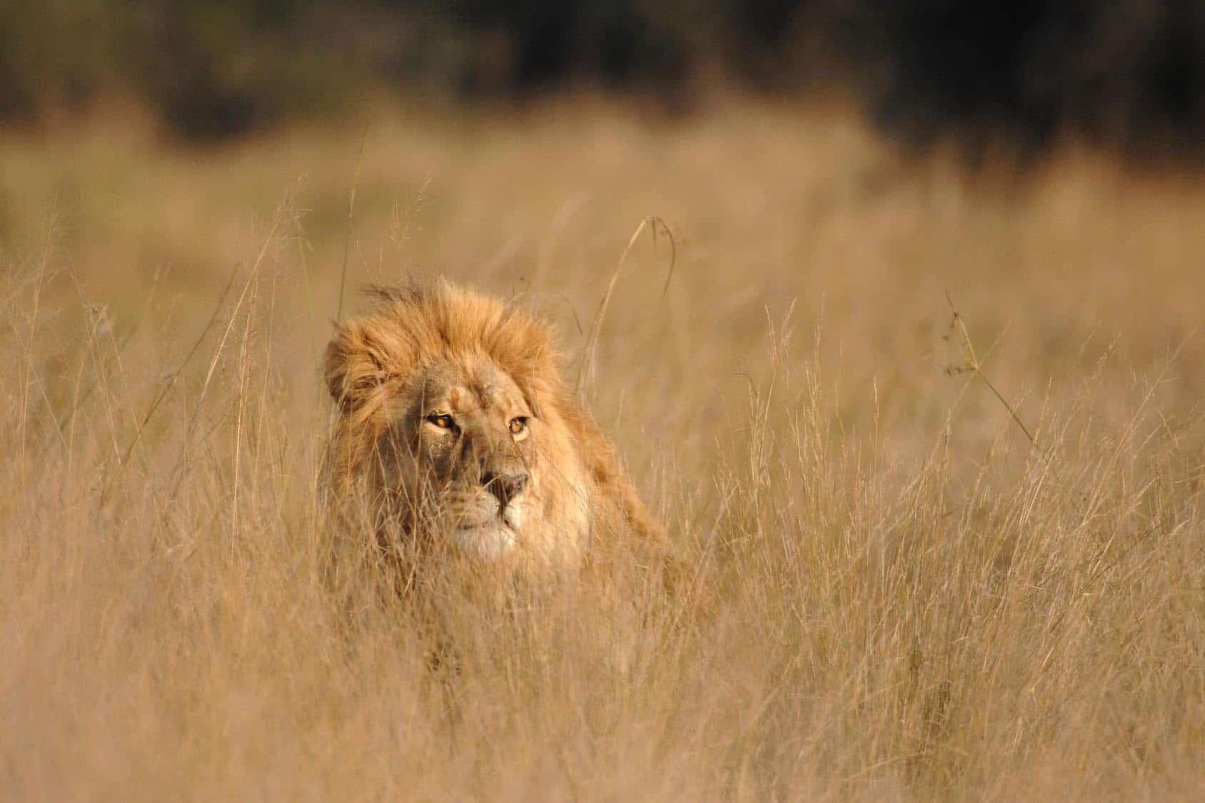 Male Lion Hiding In Long Grass