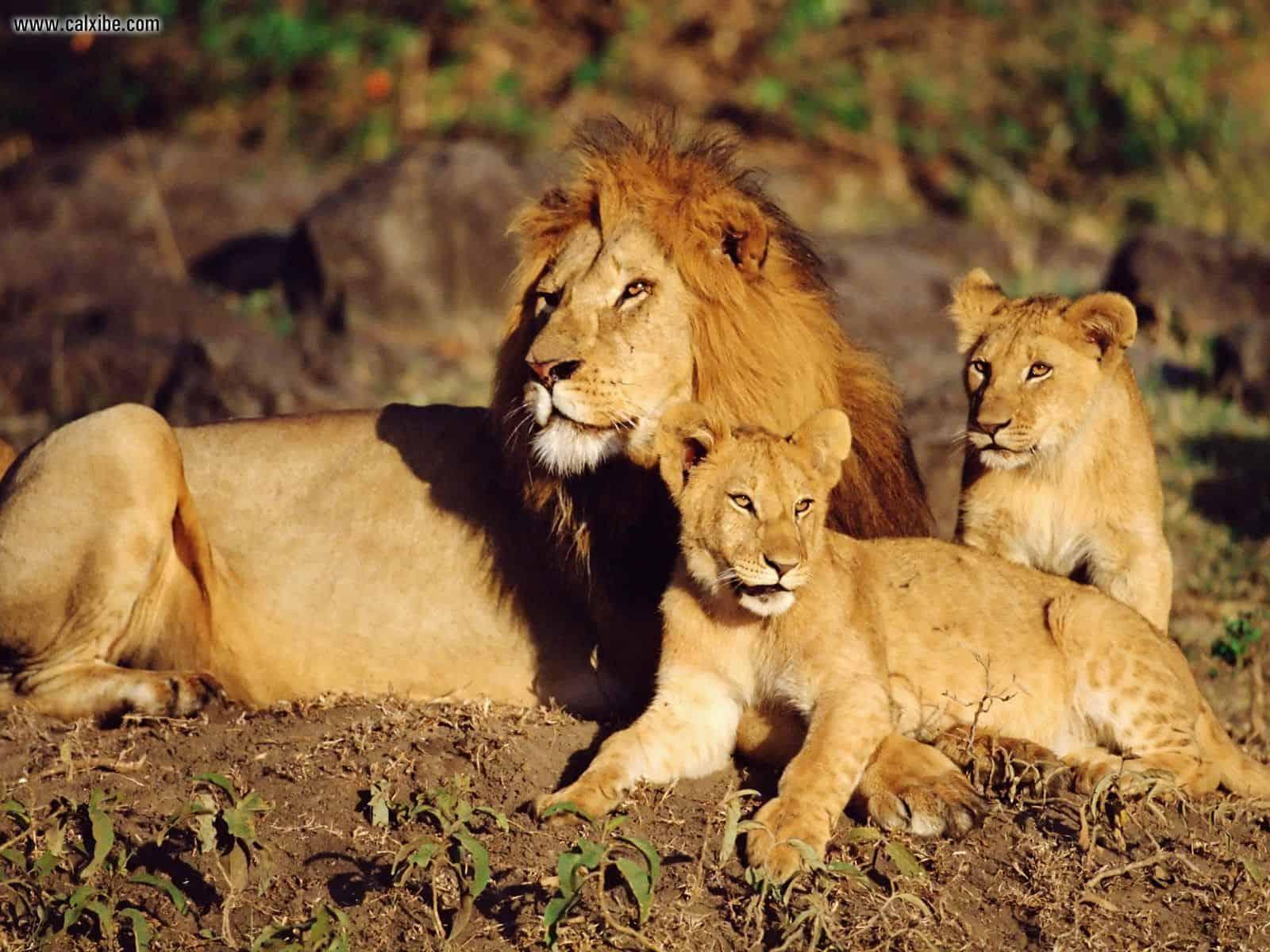 African Lions Masai Mara Kenya Copy
