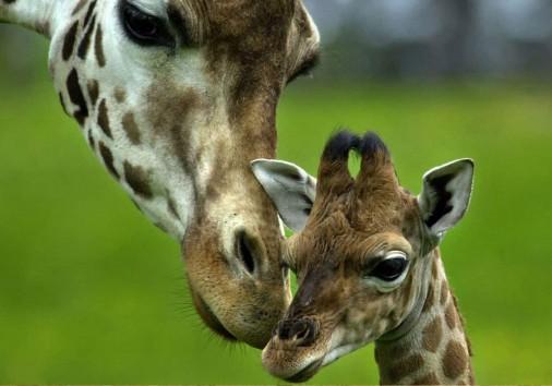 Baby Giraffe And Mother Jumbo Adventures