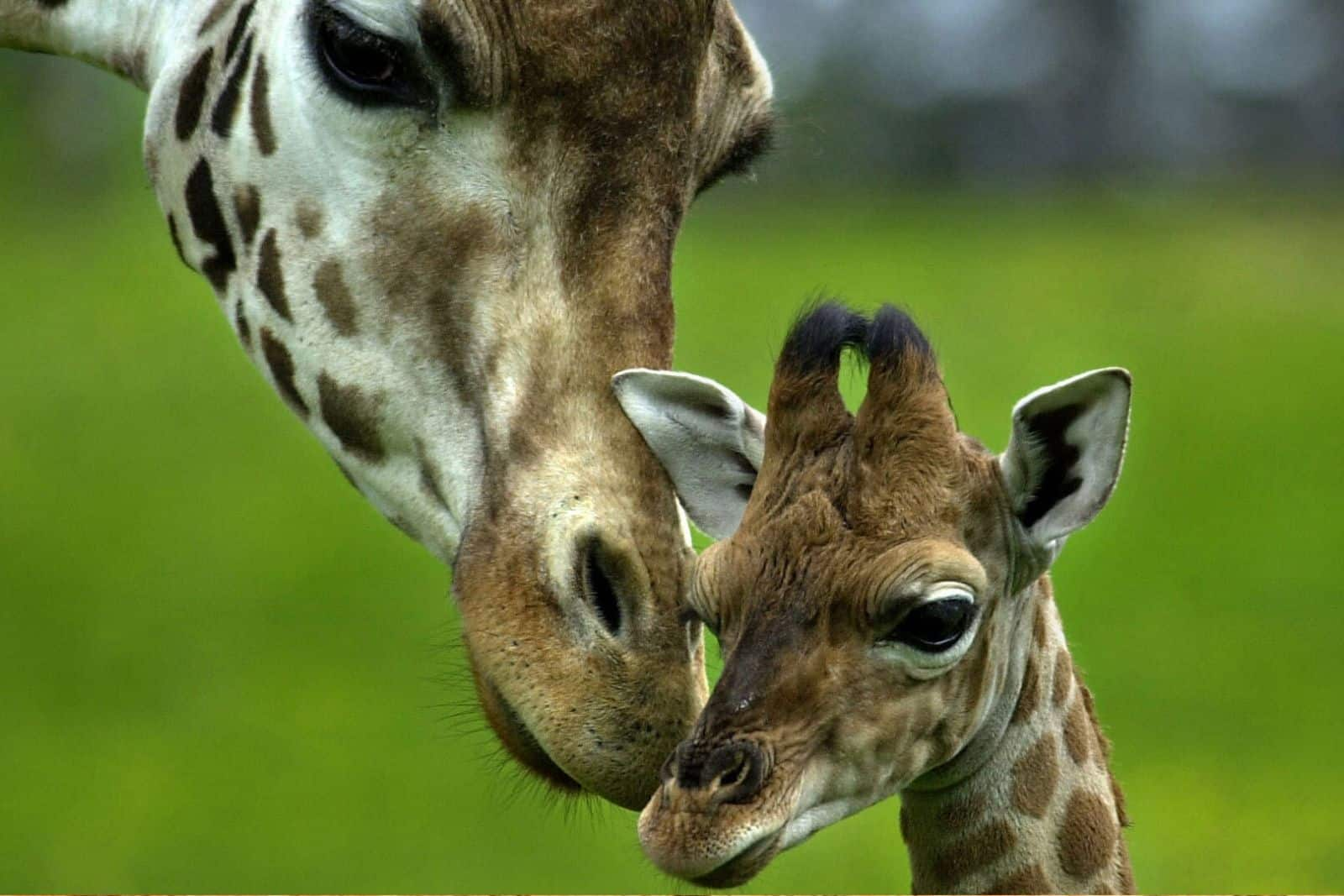Baby Giraffe And Mother Jumbo Adventures