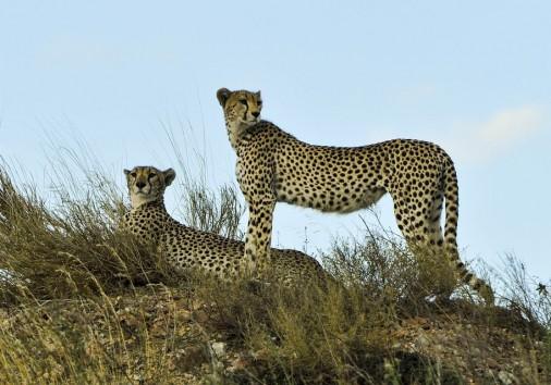 Cheetahs 802897 960 720
