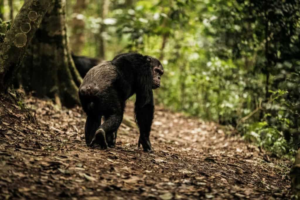 Chimpanzee Trekking Nyungwe