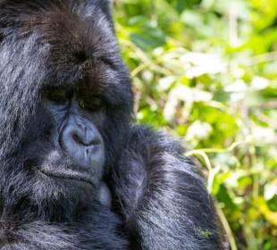4 Days Gorilla and Chimpanzees Trek