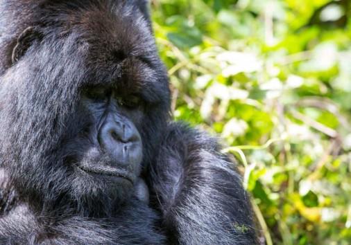 Closeup Shot Of Silverback Gorilla