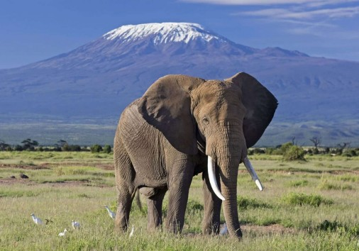 Elephant Bull Front Of Kilimanjaro Amboseli