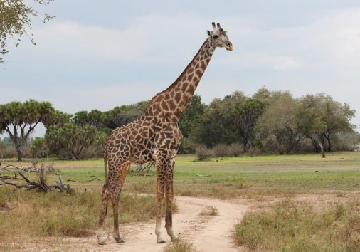 Giraffe 1029795 960 720