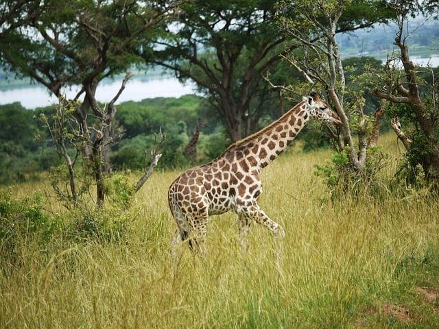 Giraffes 1543687 640
