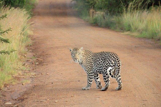 Leopard 336604 640