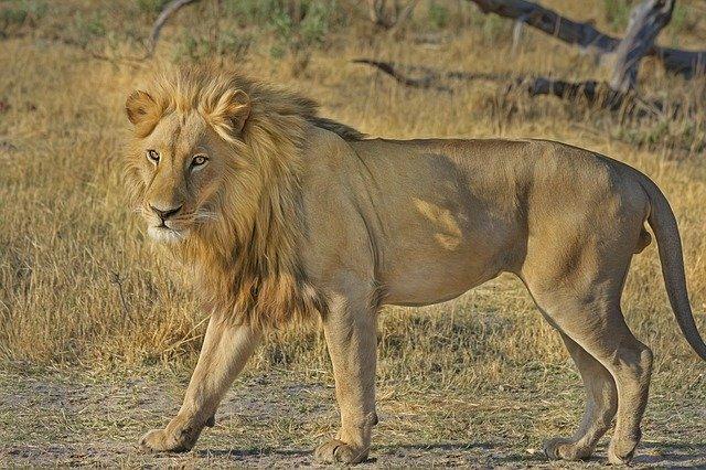 Lion 515030 640