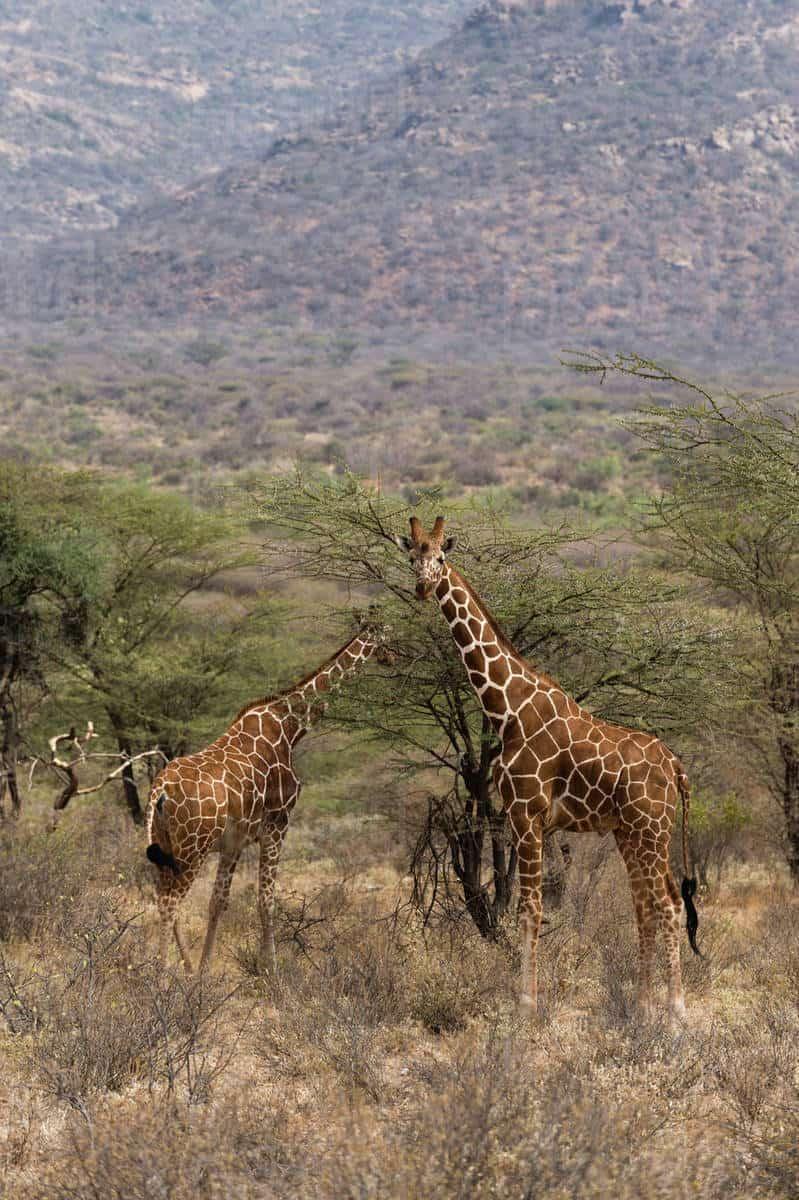 Reticulated Giraffee