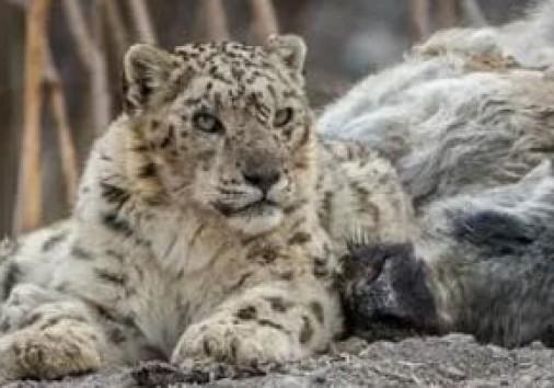 Sense India Snow Leopard