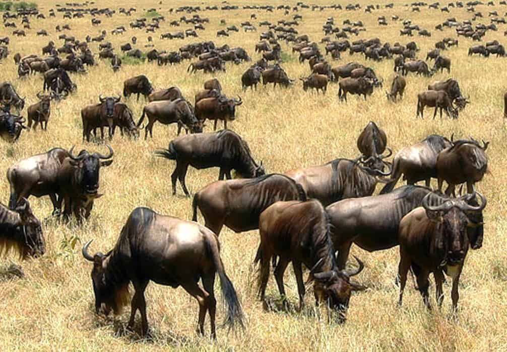 Wildlife Mara (1)