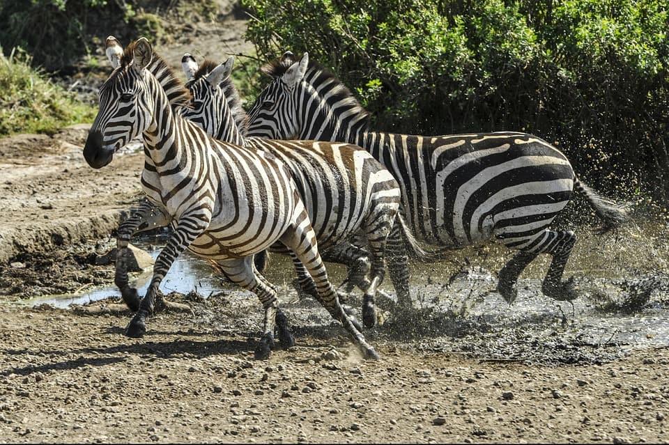 Zebra 591862 960 720