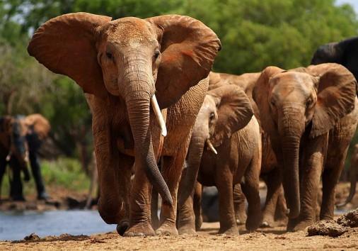 708682elephantamboselikenyaeastafricaafrica