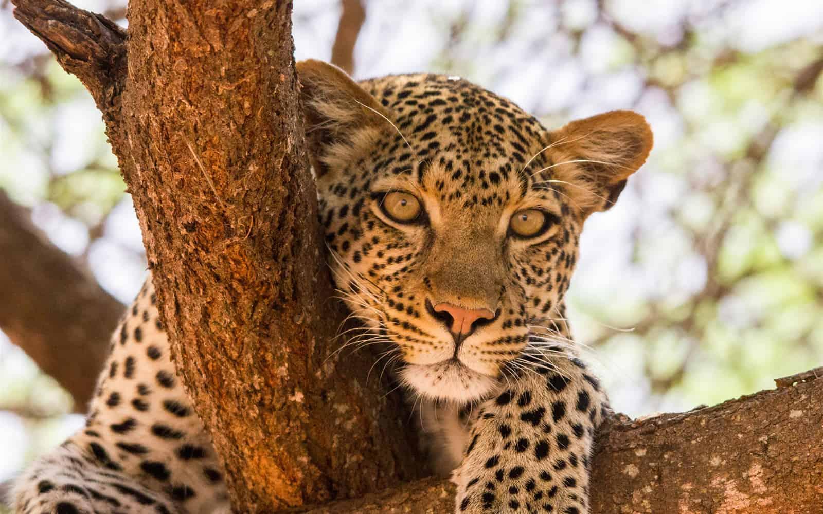 709832leopardselousandmikumitanzaniaeastafricaafrica