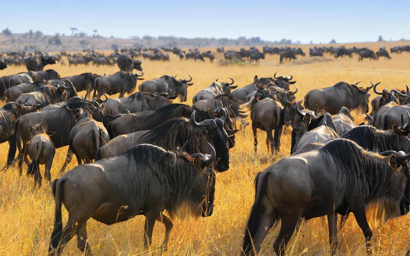 734829wildebeestmigrationkenyaeastafricaafrica