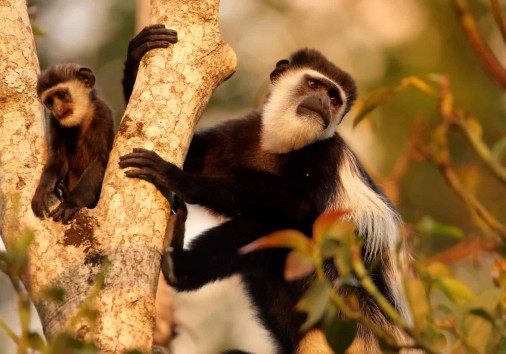 741637colobusmonkeysbwindiimpenetrablenationalparkugandaeastafricaafrica