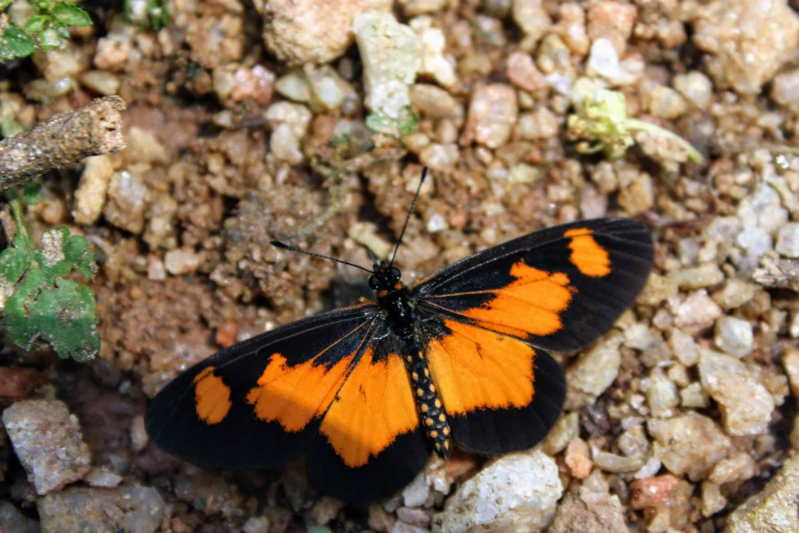 Butterfly In Queen