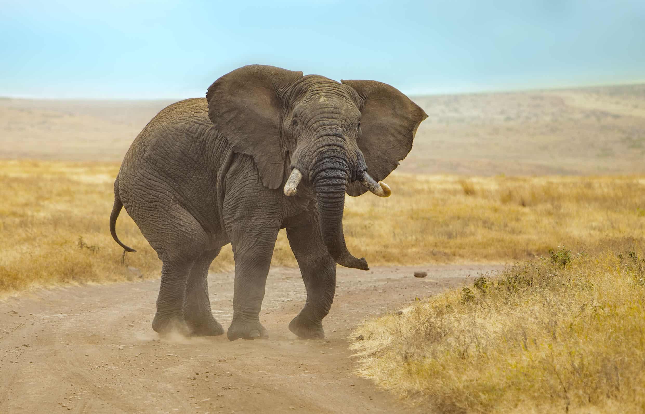 Elephant Bull Ngorongoro 16 July 2019 87