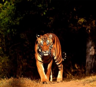 Rajasthan Bandhavgarh Wildlife and Royal Bengal Tiger Safari