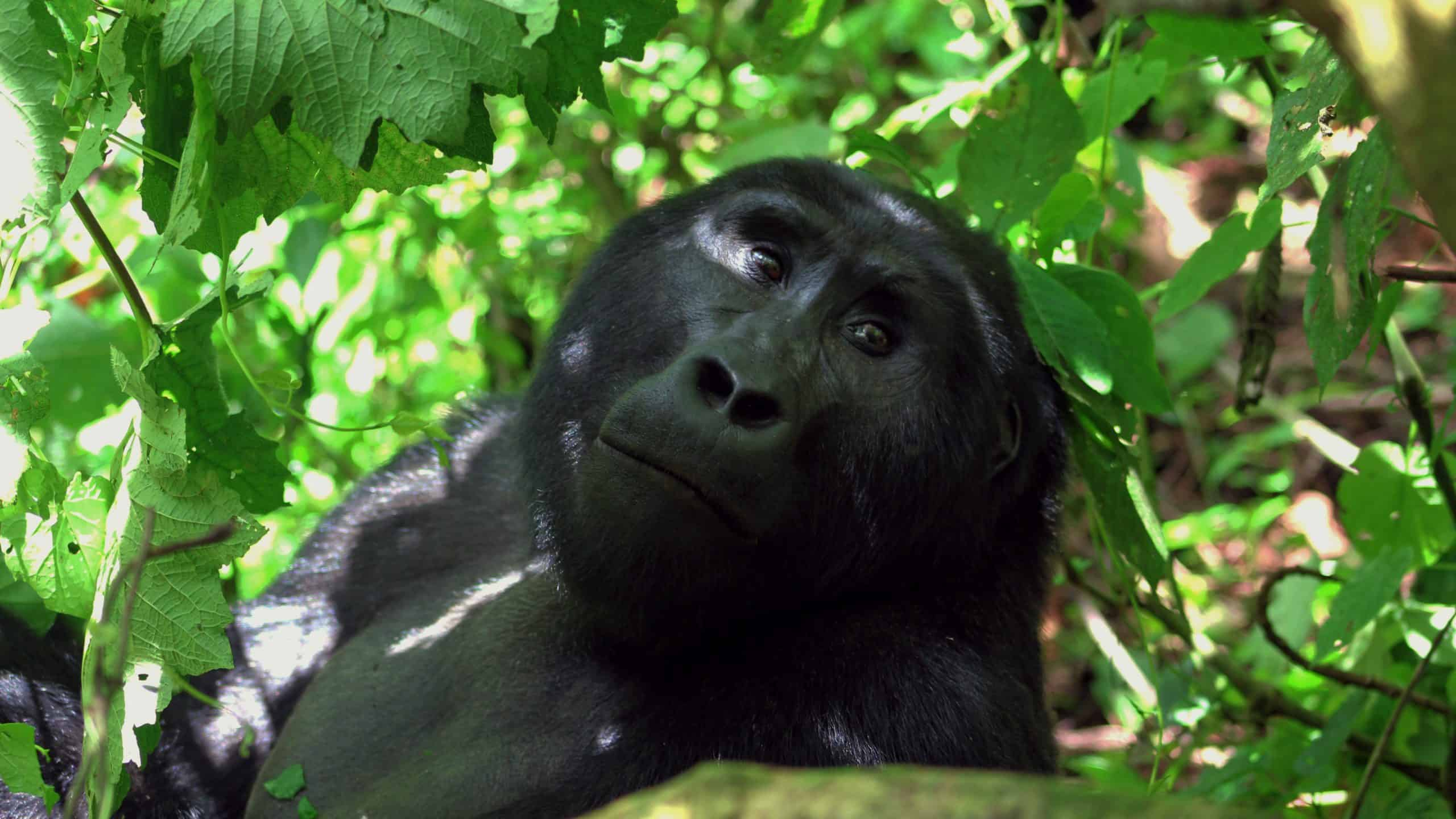 Gorilla Hd 1