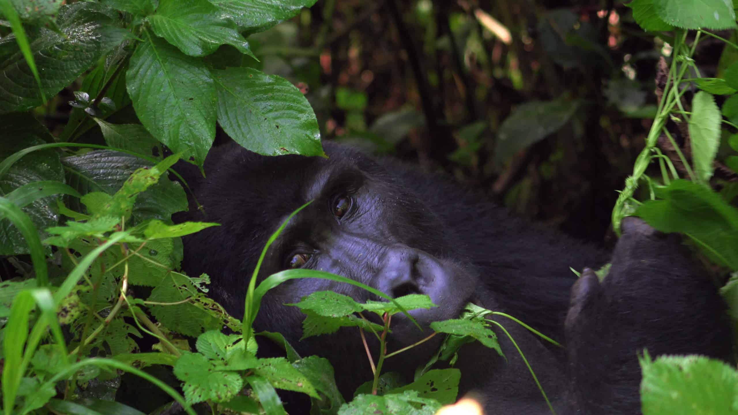 Gorilla Hd 4