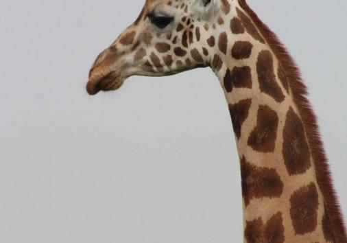 Giraffe In Murchison Falls Np
