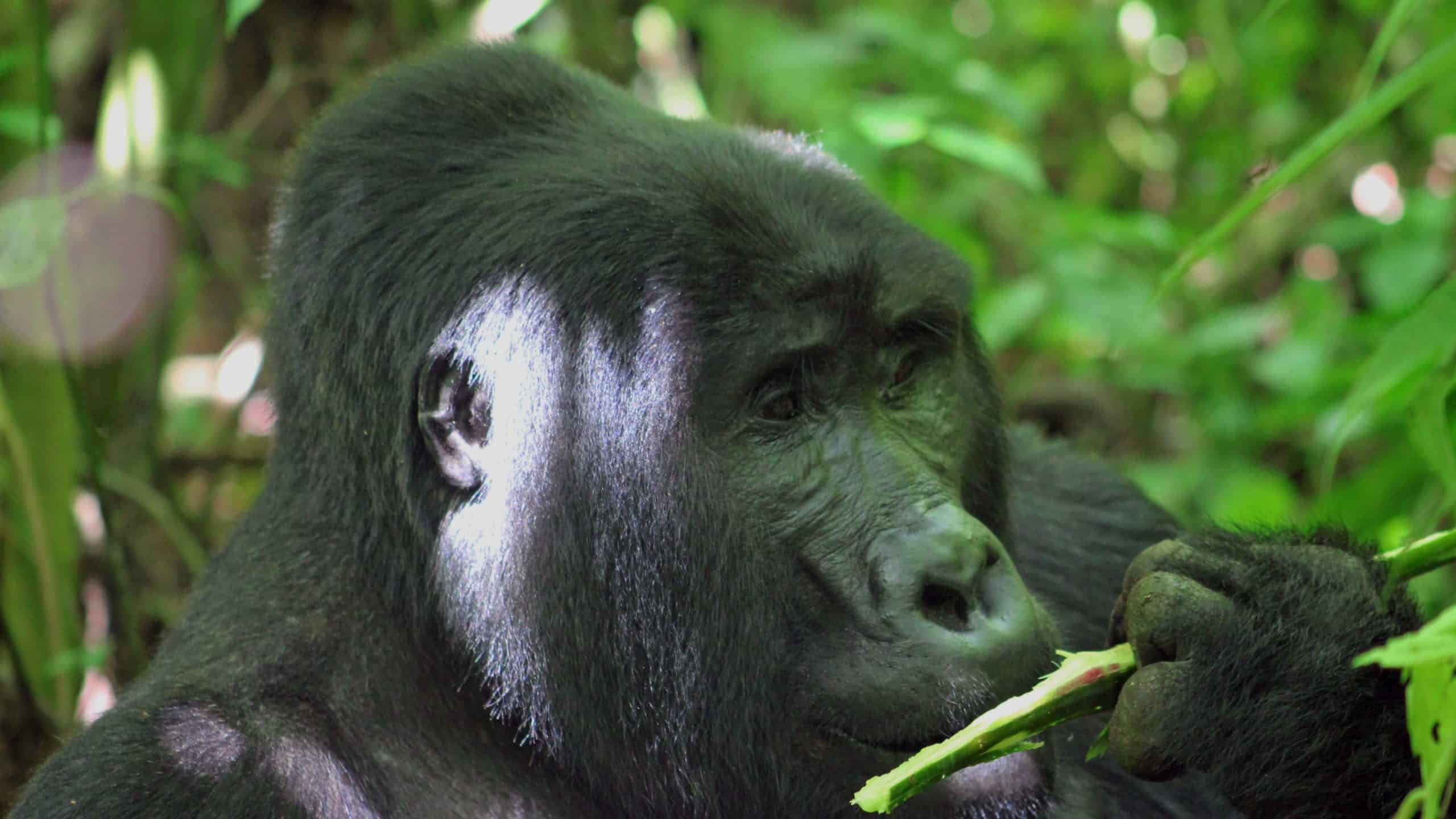 Gorilla In Bwindi Impenetrable Forest