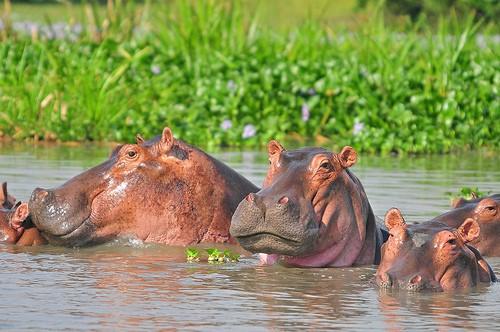 Hippo Murchison