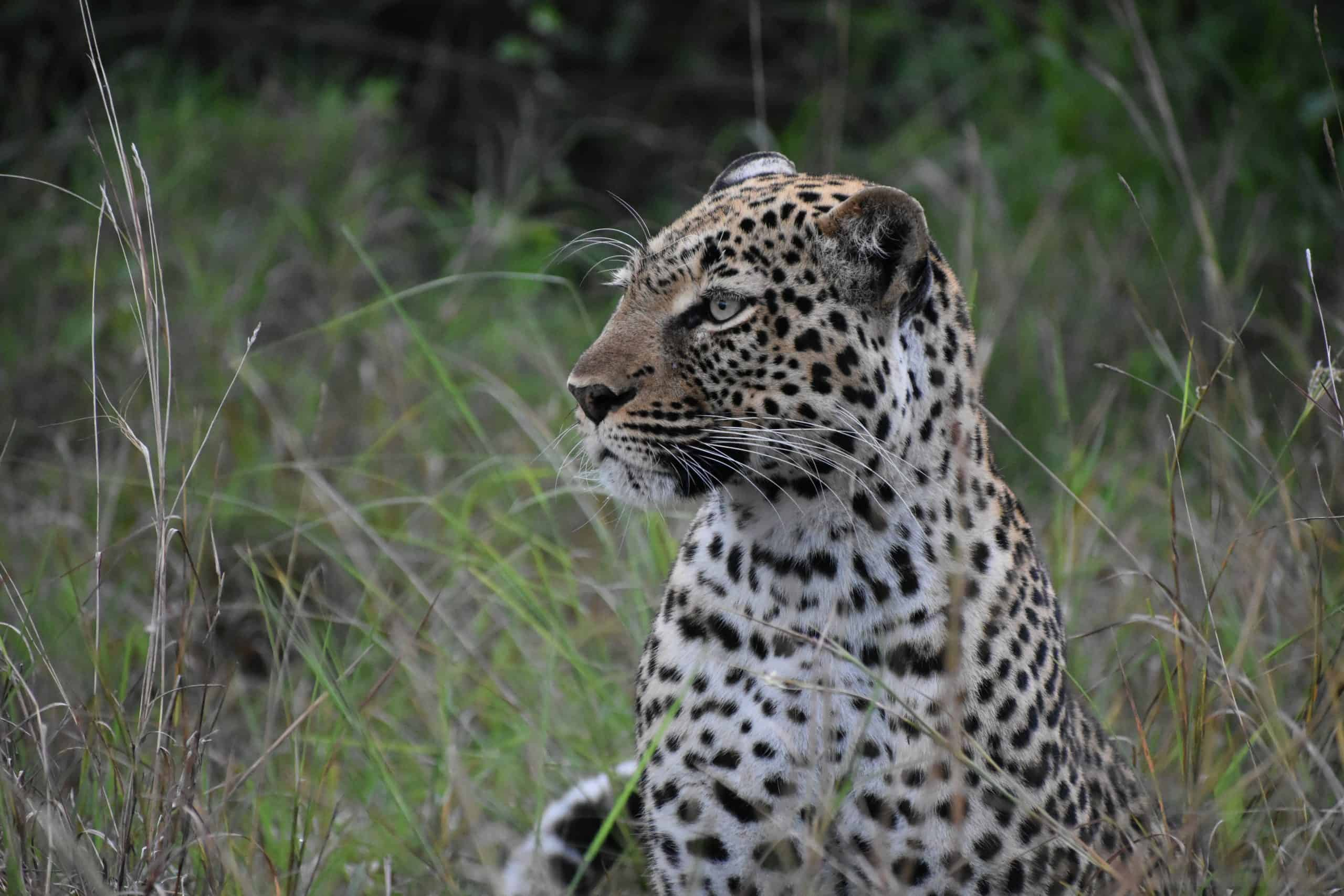 Leopard At Lake Mburo National Park