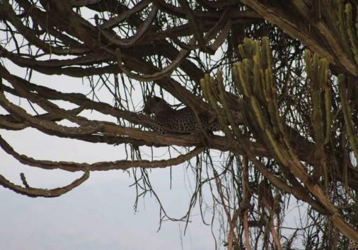 Leopard On A Tree In Queen
