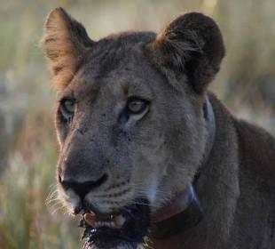15-Day Big Five, Gorilla & Chimp Safari