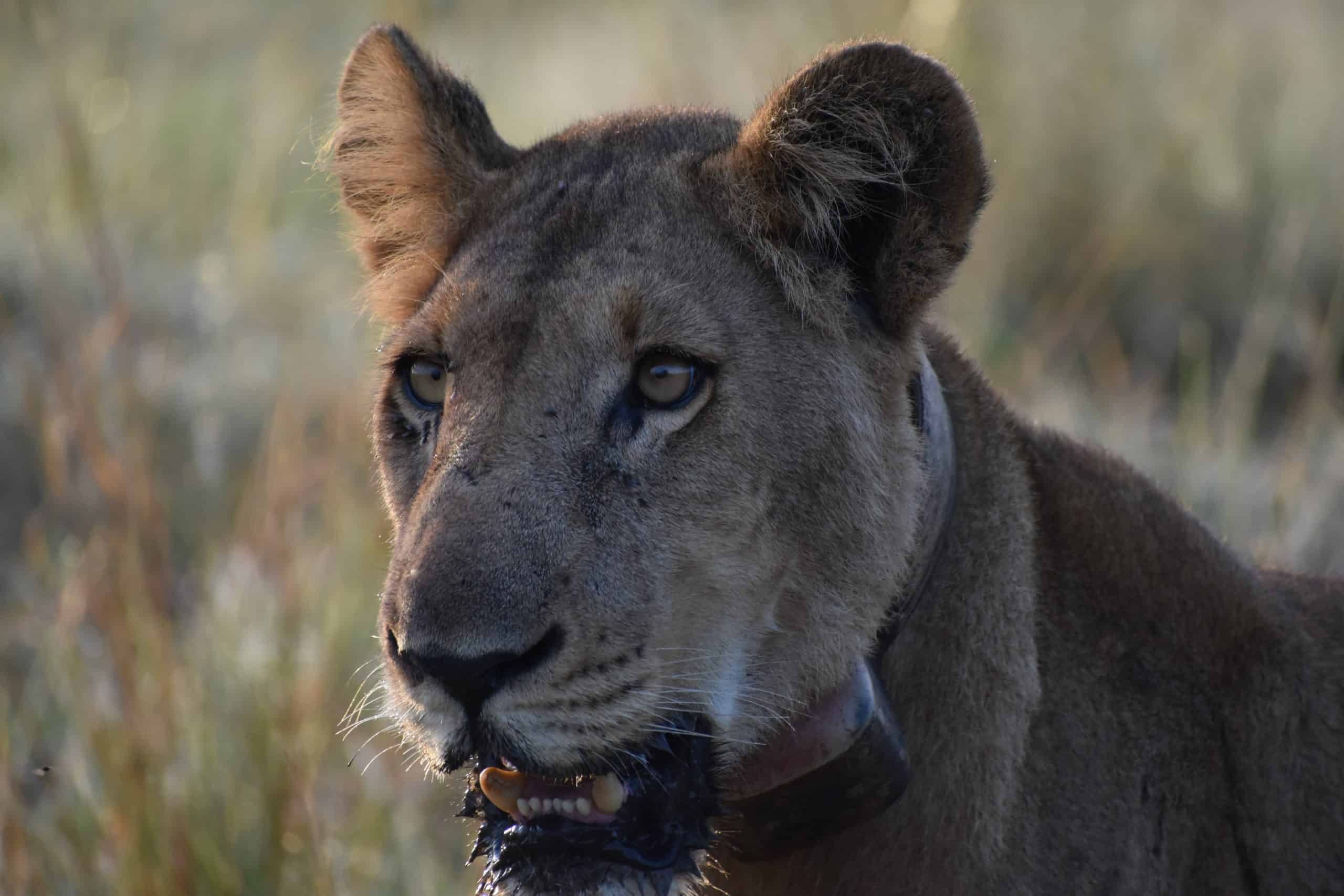 Lion At Kidepo Valley National Park