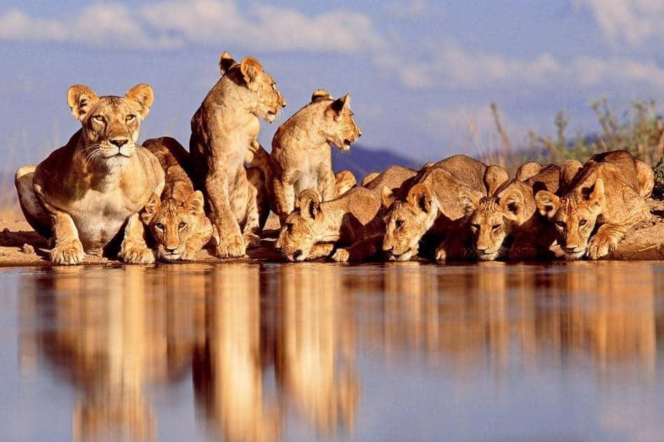 Lion Pride2