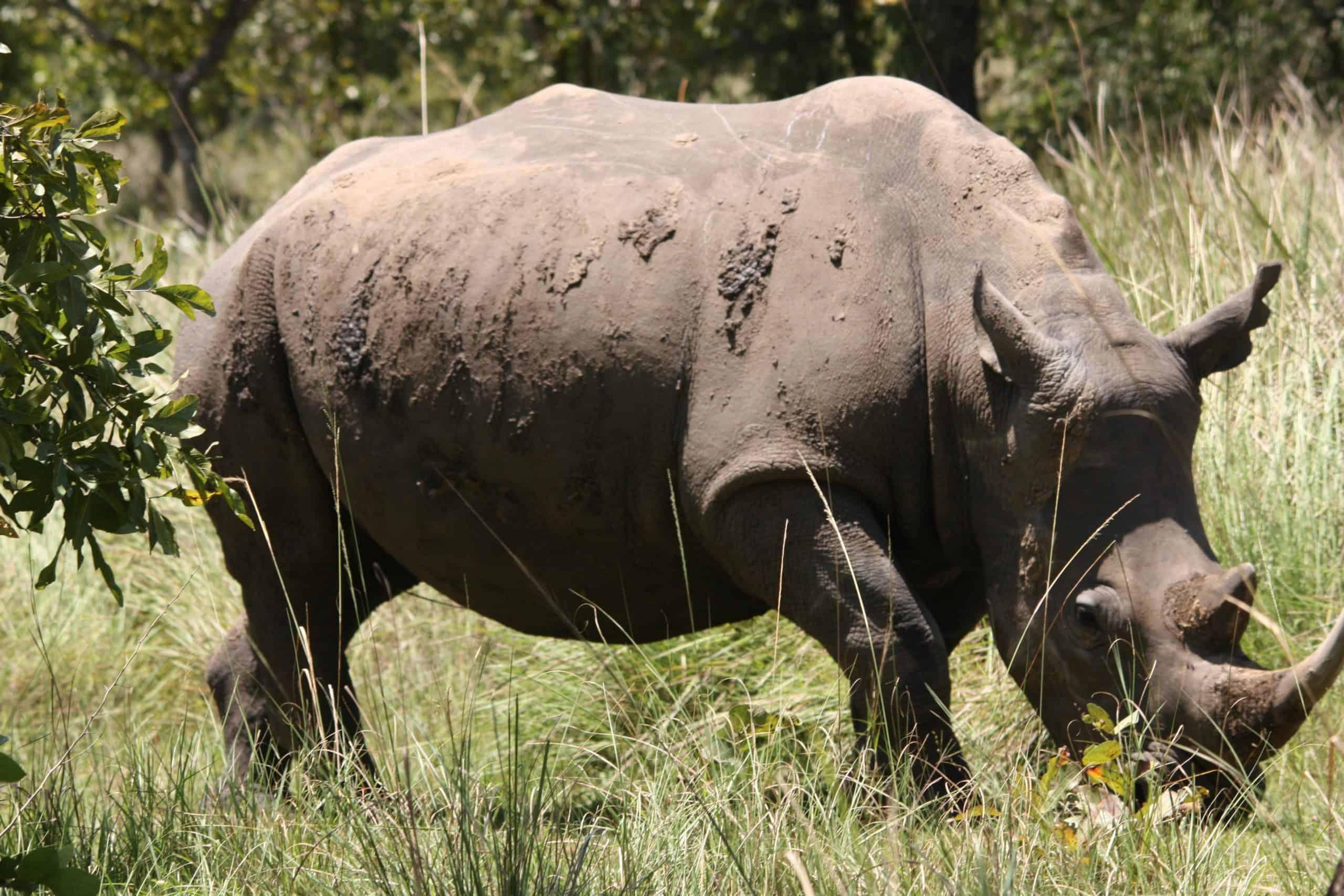 Rhions At Ziwa Rhino Sanctuary