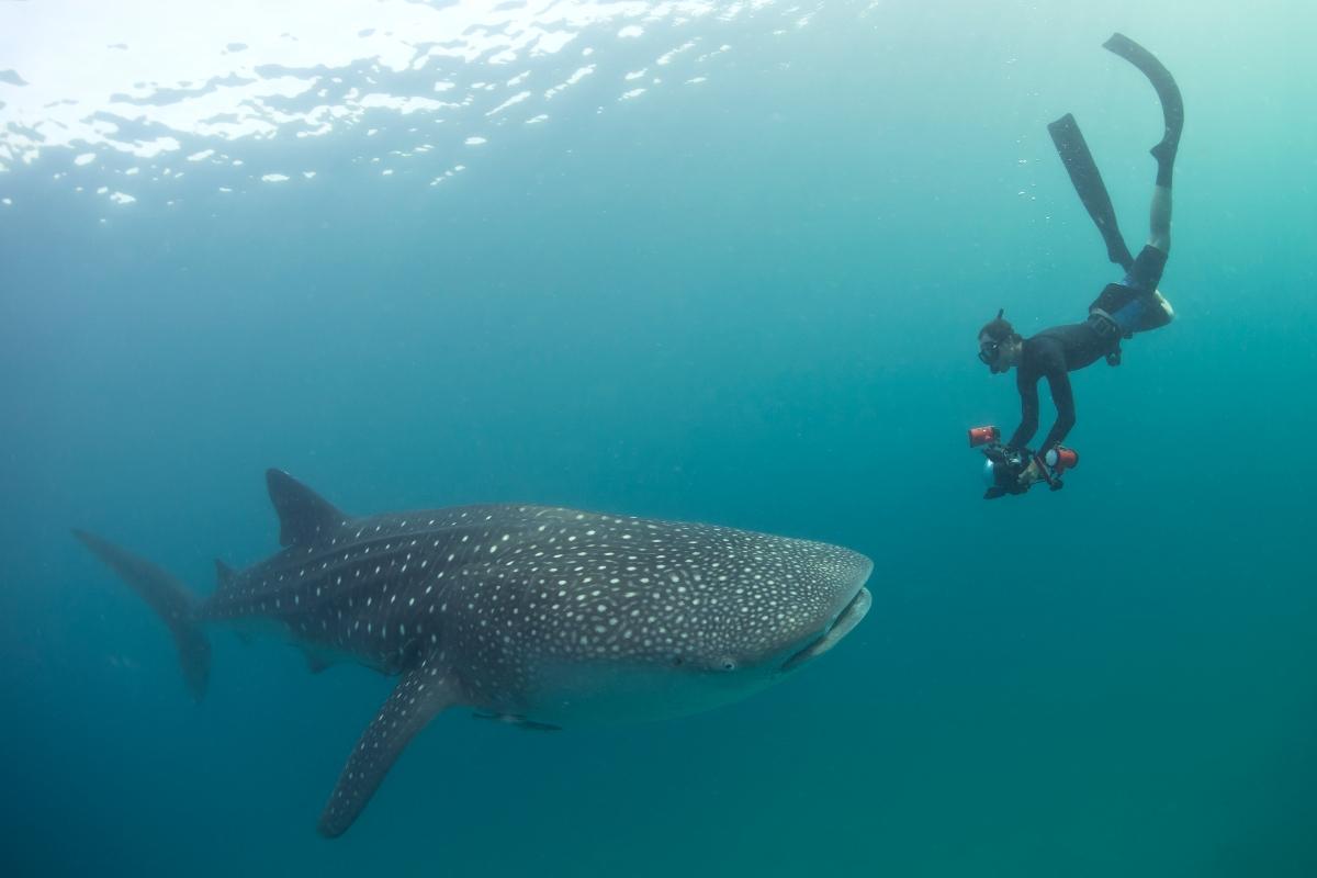 Whale Shark Chole Mjini 1