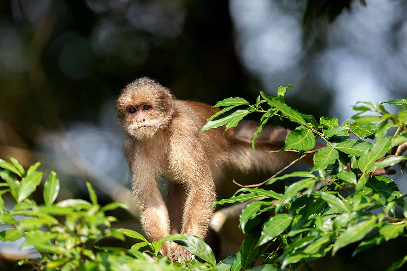 White Faced Capuchin Monkey, White Fonted Capuchin Monkey, Cebus Albifrons