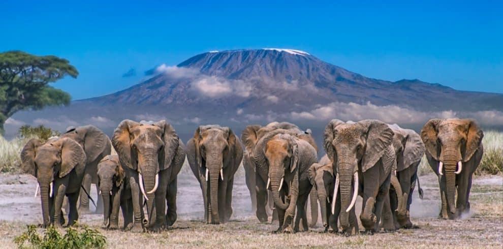 Amboseli Elephants 990x490
