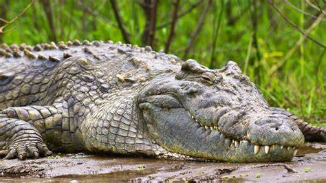 Crocodile 1