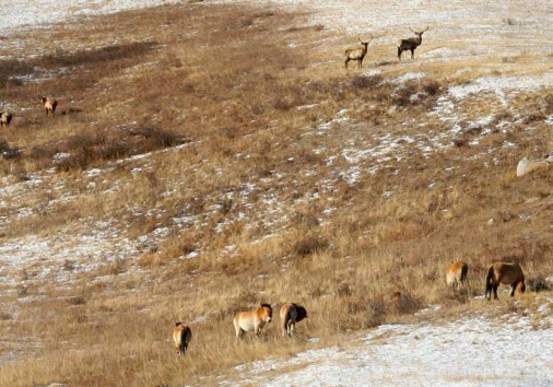 Deers And Wild Horses In Hustai National Park