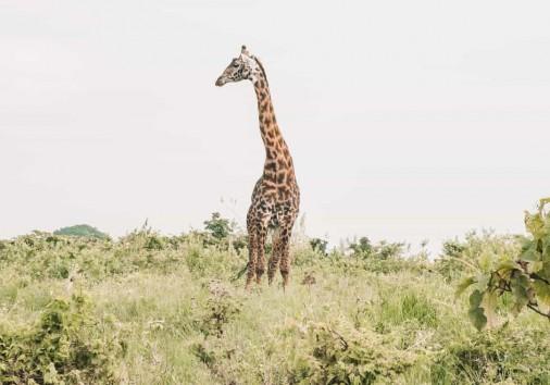Giraffe In The Ngorongoro Crater