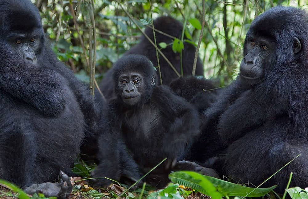 Gorilla Family 1