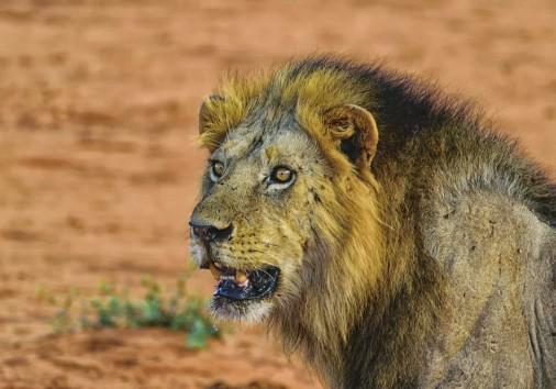 Lion 2920014 1920
