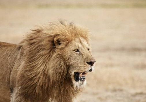 Lion Ngorongoro