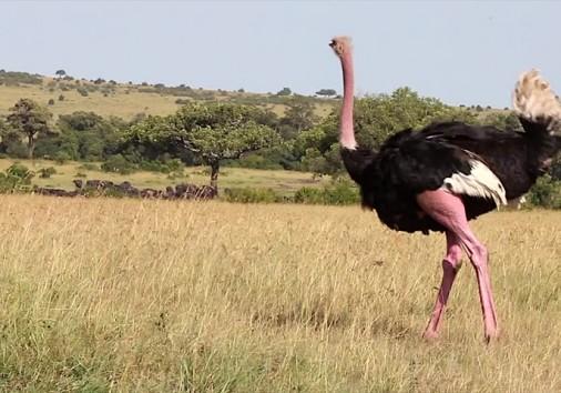 Ostrich Maasai Mara