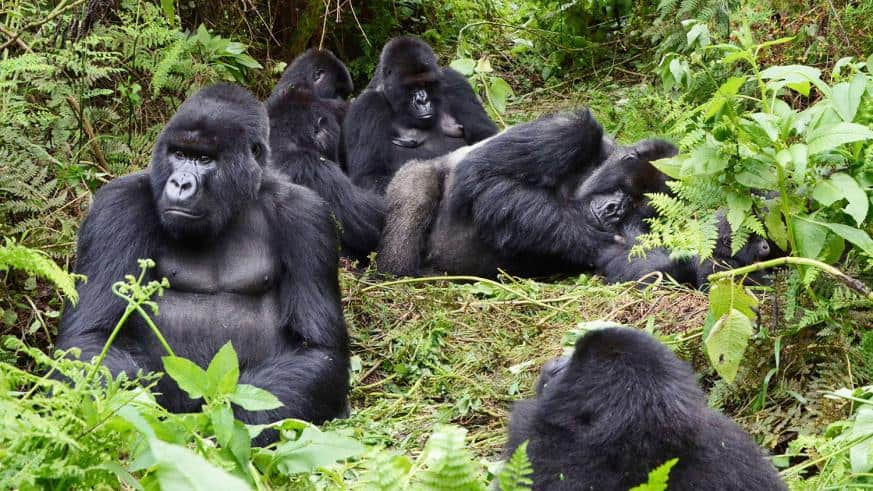 Rwanda Mountain Gorillas In Susa Group In Kalisimbi Sam Ngendahimana