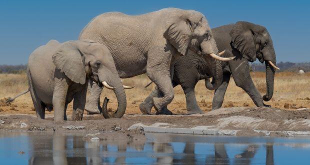 Botswana Ele