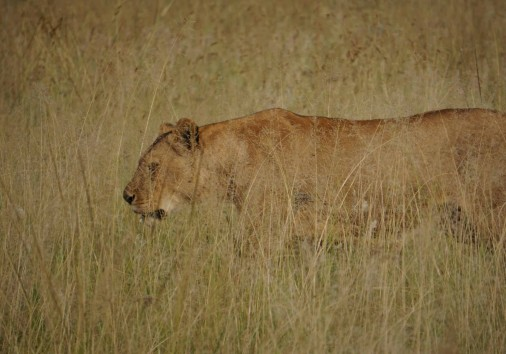 Burigi Chato Safaris Co. Ltd Serengeti Norongoro Safari Best Tour Agency Company Operator In Moshi Arusha Tanzania Africa) (2)