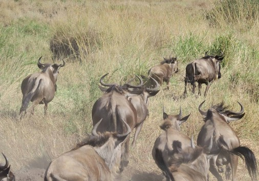 Burigi Chato Safaris Co. Ltd Serengeti Norongoro Safari Best Tour Agency Company Operator In Moshi Arusha Tanzania Africa) (33)